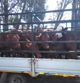 Stolen cattle recovered, two in custody in KZN